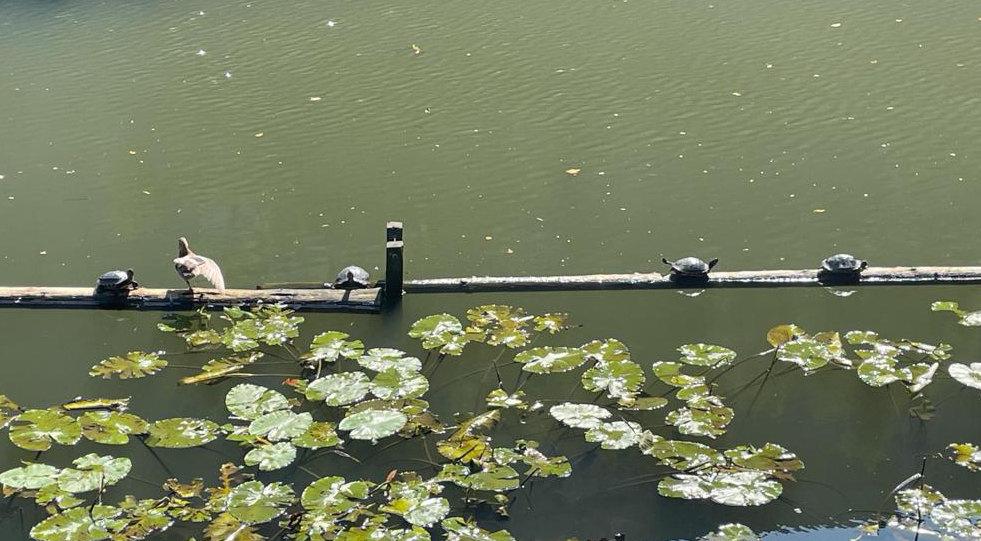 Schildpadden in de Biltse Grift. Foto: L. W.
