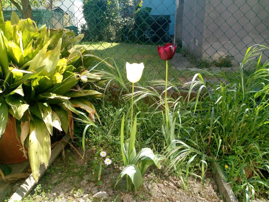 Stilleven met tulpen. Foto: Jos Peeters